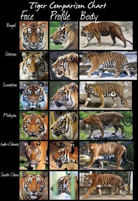 tijgerkaart.jpg